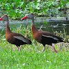 Black- Bellied Whistling- Duck