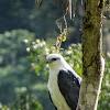 Gavião pombo grande