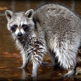 Raccoon by Sraddheshnu Basu - Animals Other Mammals ( raccoon )