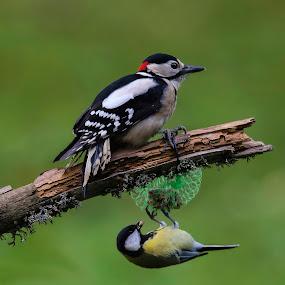 Woodpecker  by Stane Gortnar - Animals Birds (  )