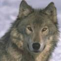 Wolf Slideshow logo