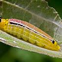 Unknow skipper butterfly caterpillar