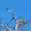 Bald Eagle Juveniles