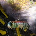 Fig Sphinx Caterpillar