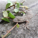 Japanese gecko, nihon yamori