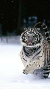 Tiger Wallpapers - screenshot thumbnail
