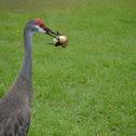 Sandhill Cranes killing a baby duck