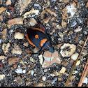 Predatory Stink Bug