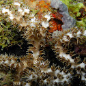 Galaxea Branching Coral