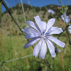 Common Chickory