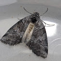 Casuarina Moth