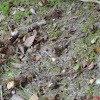 the wood mouse (long-tailed field mouse, field mouse, common field mouse, and European wood mouse)