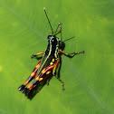 harlequin grasshopper