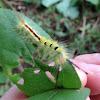 White-marked Tussock Moth Larva
