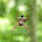 Arrowshaped Micrathena Spider