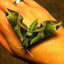 Pandora Sphinx moth