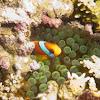 Red and Balck Anemonefish