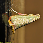 Leaf-blotch Miner Moth