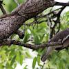 bare-eyed pidgeon