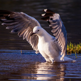 These are my Wings by Malan Lombard - Animals Birds ( water, bird, sunset, wings, sea gull )