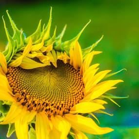 Sunny Sunflower by Krizzel Almazora - Flowers Flower Buds (  )