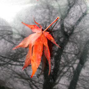 Wet Leaf On Glass by Anne Santostefano - Nature Up Close Leaves & Grasses ( fall leaves on ground, fall leaves, autumn, leaves,  )