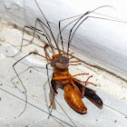 Harvestman vs. red wasp