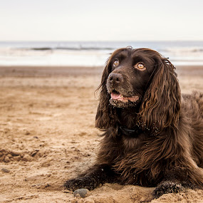 Posing brown dog by Barrington Dent - Animals - Dogs Portraits ( brown, beach, seaside, dog, animal )