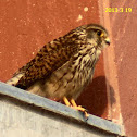 Common Kestrel (female)