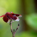 Ramburii Red Parasol, Crimson Dropwing