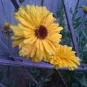 Yellow perenial