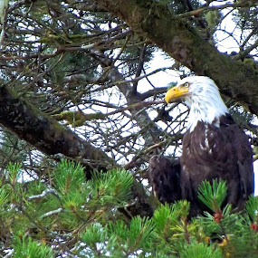 Coal Harbour - Bald Eagle - August 2014 by Art Straw - Animals Birds (  )