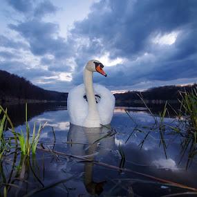 Swan by Zoran Rudec - Animals Birds ( swan )
