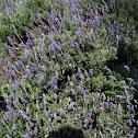 Lavandula angustifolia. Lavanda