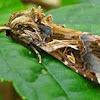 Oriental Leafworm Moth, Armyworm