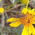 Leafhopper Assasin Bug