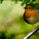 Red chested robin