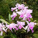 Orchids (Orquídeas)
