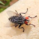 Grey flesh fly