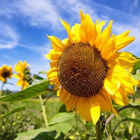 Sunflower by Jun Robato - Flowers Flower Gardens ( still life, sunflower, close up flower, flowers, garden )