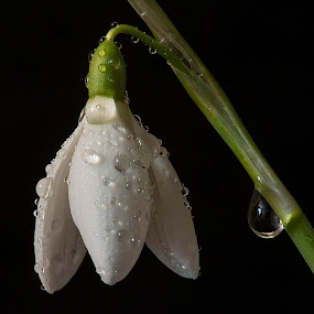 Tear Drop by Martin Crush - Flowers Single Flower ( snow drop, crush studio, water droplets, floral, flower, tears )