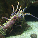 Giant Spiny Lobster