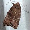 Rustic Quaker Moth