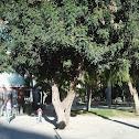 Algarrobo (Carob tree)