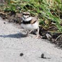 North American Killdeer