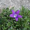 Purple wild Bellflower (καμπανούλα του Χώκινς)