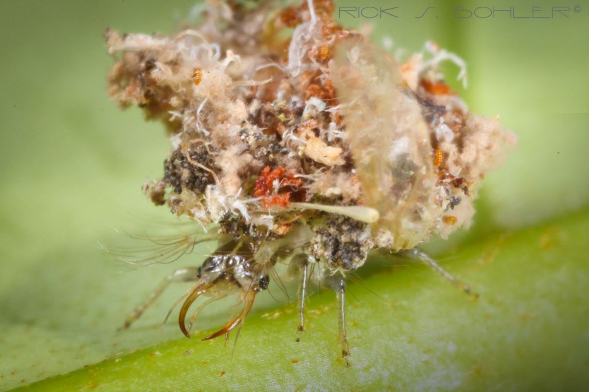 green lacewing larva/aphid lion