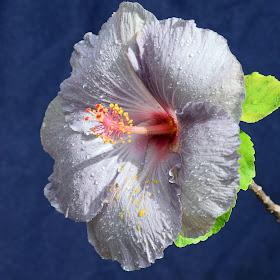 Hibiscus12-15.jpg