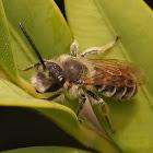 Andrena dorsata