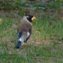 Yellow-billed Grosbeak